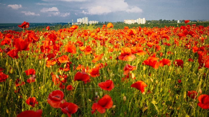 MOLDOVA'S BEAUTIES. Colorful outburst on poppy fields (PHOTO REPORT)
