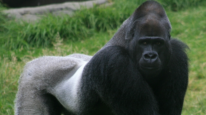 Gorilla irritated by people gawping at him body-slams the glass – before showing visitors his bottom