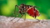 U.S. Academies Gives Cautious Approval of 'Malaria-proof' Mosquitoes
