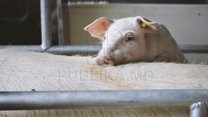 ALARMING! Swine fever nears Moldova's borders
