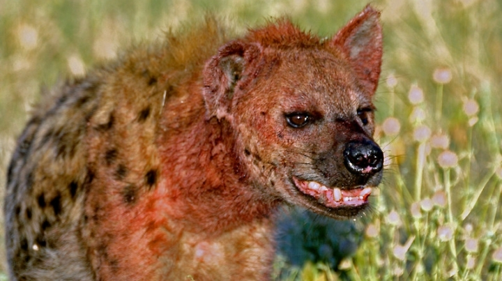Hyena attacks sleeping boy in tent, in South Africa's Kruger Park