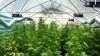 Israeli 'businessmen' started serious cannabis business in Moldova (FOTO/VIDEO)