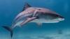 Marine scientists capture pregnant tiger shark sonogram for first time