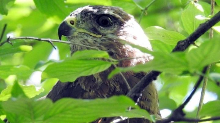 Moldovan environmental inspectors free hawks, tortoises taken from smugglers (PHOTO/VIDEO)