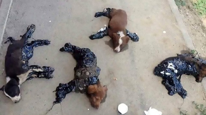 Four puppies were found covered in hot tar in Romania