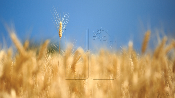 Moldovan farmers start harvesting more wheat than last year