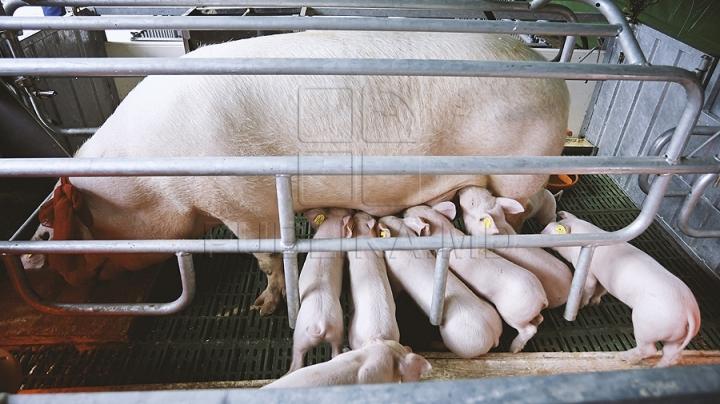 African Swine Fever menaces Moldova, Romania