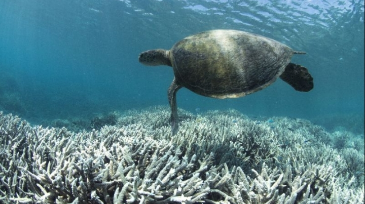 ALARMING! 1/3 of Great Barrier Reef bleaches