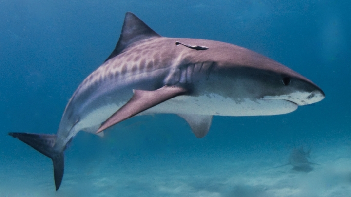 Marine scientists capture pregnant tiger shark sonogram for first time