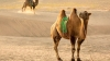 Study: Virus causing common cold was passed to humans from a CAMEL