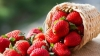 Moldovan strawberries and cereals on European Market