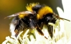 Neonicotinoids linked to wild bee declines, long-term study shows