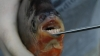 Piranhas with human-like teeth found in Michigan lakes