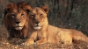 In India, for $300, you can take selfies with endangered lions