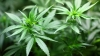 Police found marijuana and cannabis plants in a garden in Chisinau