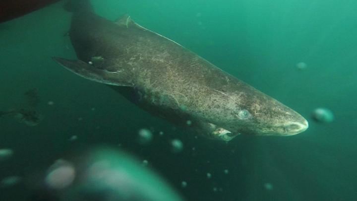 Sluggish arctic shark is considered world's oldest creature