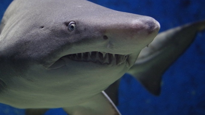 Study: Shark blood could be used as cure for dementia