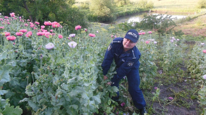 Poppy business. Man suspected for narcotics trade in Straseni village