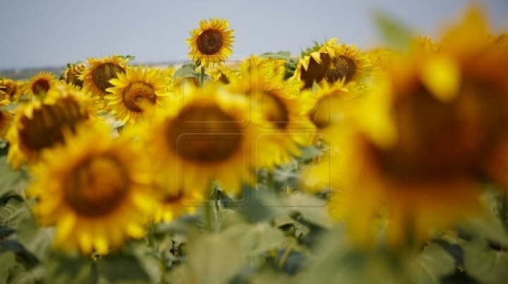 Disappointed: Sunflower harvest, below farmers' expectations
