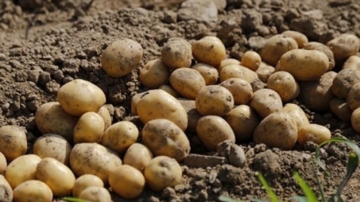 Potato harvest weaker than expected: Moldovan farmers