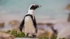 Race to find stolen African penguin