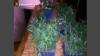 Weed greenhouse near Chisinau. Police terminate young entrepreneur's 'business' (VIDEO)