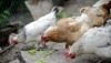 Avian flu menaces Moldovan farmers' poultry