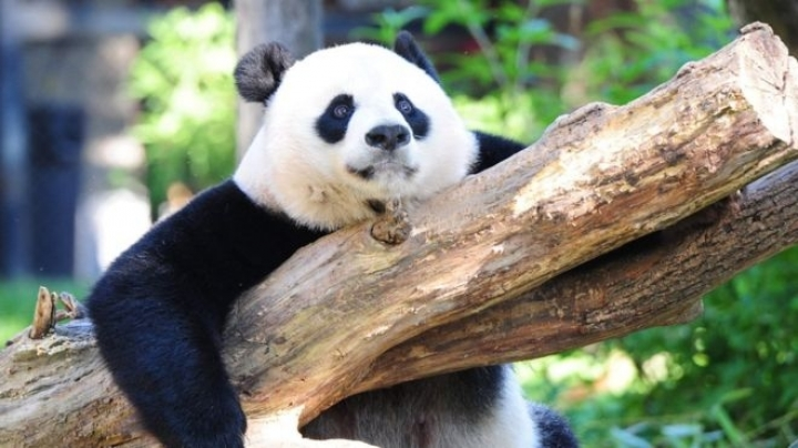 Giant pandas out of endangered list, into vulnerable list