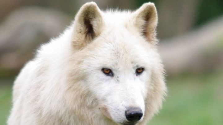 Arctic wolves bought from Czech Republic for Chisinau zoo