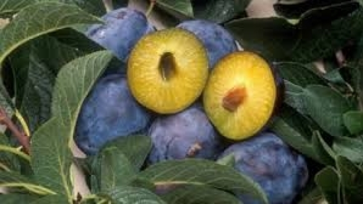 Bad commercialization of rich plum harvest