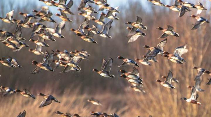 Migratory birds bring avian flu to Russia