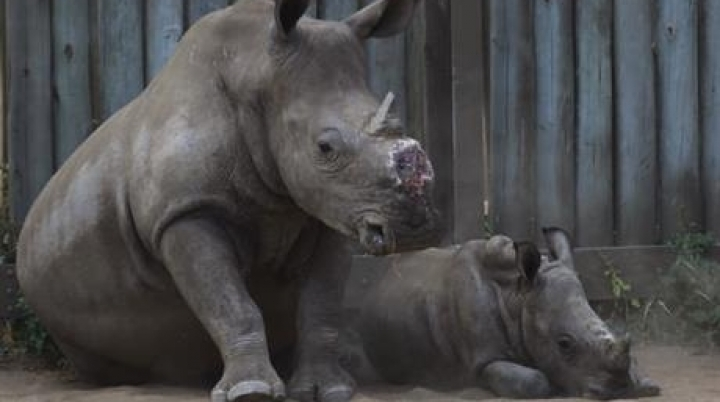AWFUL. Rhinos in South-Africa get horns chainsawed to deter poachers
