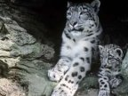 Report: Snow leopards numbers decline due to retaliation