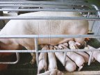 Fighting SWINE FEVER in Moldova. Food Safety Agency chief inspects farms in south