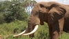 World's nations agree elephant ivory markets must close