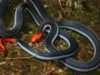 Venom of one of world's deadliest snakes might act as painkiller