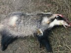 Two Moldovans killed badger at border with Romania