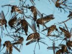 Mosquitos to be infected with bacteria in fight against Zika virus