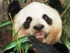 Oldest panda in captivity Jia Jia dies at the age of 38 in Hong Kong theme park