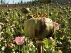 United Nations: Afghanistan opium production goes up by 43%