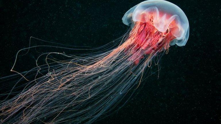 Hundreds of jellyfish invade New Zealand coastline