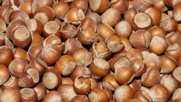 Farmers start hazelnuts harvest