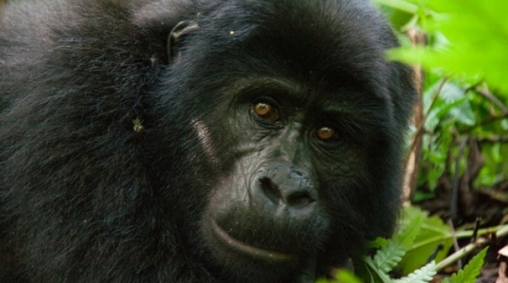 Apes can read your mind as humans do