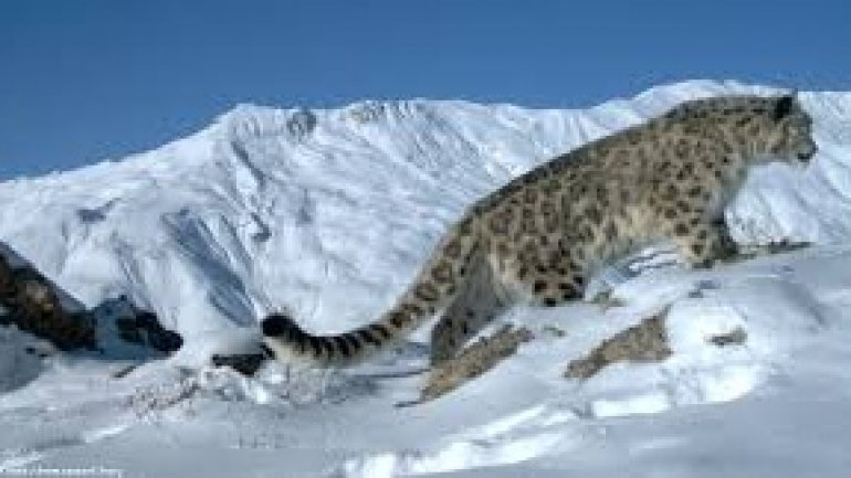 Hundreds of snow leopards being killed every year, report warns