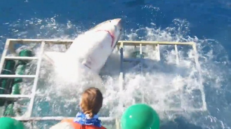 Terrifying moment diver gets trapped inside cage with a great white shark