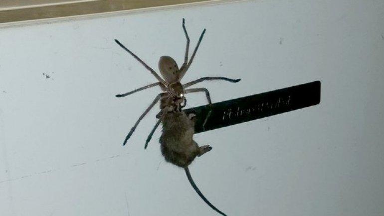 HORRIFYING! Australian spider kills mouse and carries it on fridge (VIDEO)