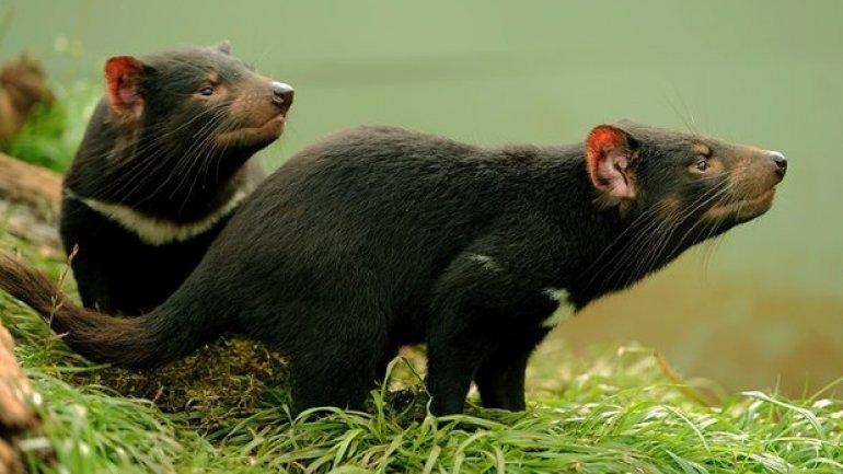 Australian scientists find use for Tasmanian devils' milk