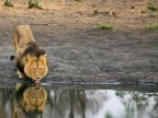 Cecil the Lion: Charges dropped against professional hunter