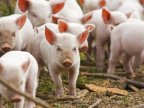 African swine fever targeted a big pig farm in Cahul