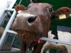 Milk production, jeopardized by drop in cattle number. Farmers want government to aid them